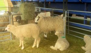 sheep fibre east
